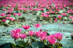 Red water lily in lake Royalty Free Stock Photography