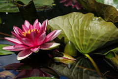 Red water lily among leaves Stock Image