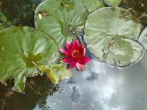 Red water lily. Park. Minsk. End of August. Royalty Free Stock Photo