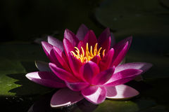 Red water lily Royalty Free Stock Photo