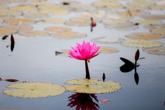 Red water lily or red lotus. In udon thani Stock Photos