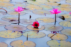 Red water lily or red lotus. In udon thani Stock Photography