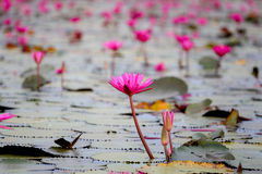 Red water lily or red lotus. In udon thani Royalty Free Stock Image