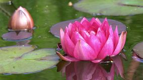 Red water lily stock video