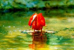 Red water with a long beak. Blur background. Red water with a long beak. Blur background Royalty Free Stock Image