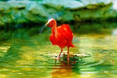 Red water with a long beak. Blur background. Red water with a long beak. Blur background Stock Photography