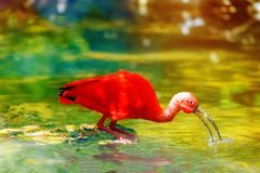 Red water with a long beak. Blur background. Red water with a long beak. Blur background Royalty Free Stock Photography