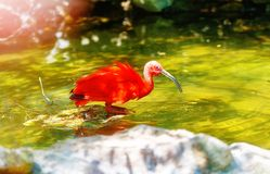 Red water with a long beak. Blur background. Red water with a long beak. Blur background Stock Photo