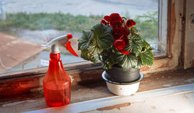 Red water sprinkler and houseplant in pot with big red flowers on weathered window sill Royalty Free Stock Photos