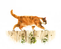 Red watercolor cat walks on the fence illustration Royalty Free Stock Photo