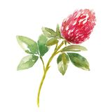 Red watercolor clover field Stock Photography