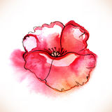 Red Watercolor Poppy flower over white backgound. Royalty Free Stock Photo