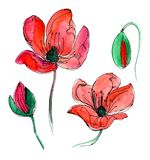 Red watercolor poppy. Two blooming red poppies and two buds. Very beautiful watercolor illustration Stock Photo