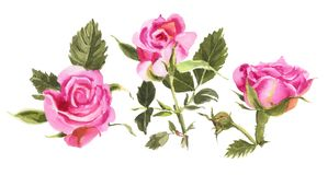 Red watercolor  roses  isolated on a white background. Royalty Free Stock Images
