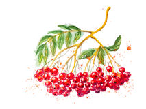 Red Watercolor Rowanberry Branch Stock Photos