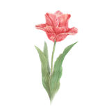 Red watercolor tulip flower Royalty Free Stock Image