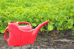 Red watering can and growing potatoes in the garden. Stock Photo