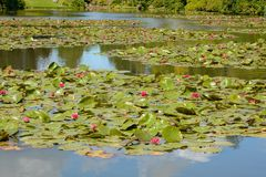 Red Waterlilies Royalty Free Stock Image