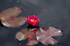 Red waterlily flowers Royalty Free Stock Images