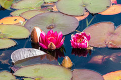 Red waterlily flowers Royalty Free Stock Image