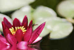 Red waterlily Royalty Free Stock Image