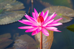 Red waterlily Stock Image