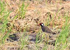 Red wattle lapwing Royalty Free Stock Photos