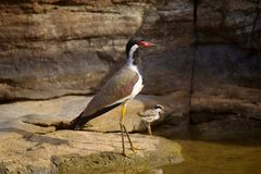 Red Wattle Lapwing with it`s Juvenile, Vanellus indicus. Red Wattle Lapwing with it`s Juvenile , Vanellus indicus Royalty Free Stock Images