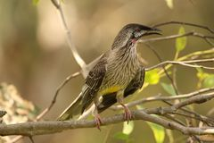 Red Wattlebird (Anthochaera Carunculata) Stock Photos
