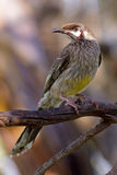 Red Wattlebird Royalty Free Stock Photo