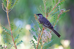 Red Wattlebird Stock Image