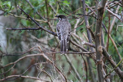 Red Wattlebird (Anthochaera Carunculata) Stock Photography