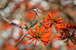 The Red Wattlebird Royalty Free Stock Image