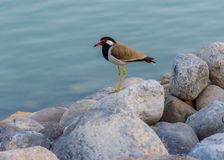 Red-Wattled Lapwing along the Corniche stock images