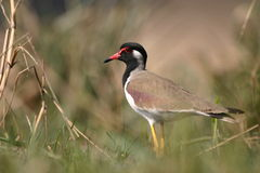 Red-wattled lapwing Stock Photography