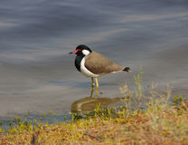 Red-wattled Lapwing Stock Image