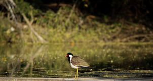 Red-wattled lapwingVanellus indicus near pond royalty free stock images