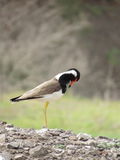 Red Wattled Lapwing in beautiful pose Stock Photos