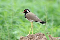 Red wattled lapwing royalty free stock photos
