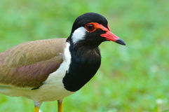 Red-wattled lapwing bird Royalty Free Stock Photography