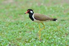 Red-wattled lapwing bird Royalty Free Stock Photos