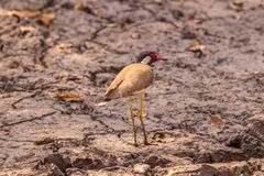 Red wattled lapwing bird giving a look in the wetlands at forest. Area royalty free stock photo