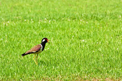 Red wattled lapwing bird Stock Photography