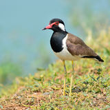 Red-wattled Lapwing bird Royalty Free Stock Photo