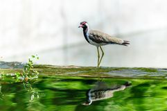 Red-wattled Lapwing bird sitting at the water edge Royalty Free Stock Photos