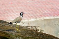 Red-wattled Lapwing bird sitting at the water edge Royalty Free Stock Photography