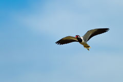 Red-wattled Lapwing bird Royalty Free Stock Image