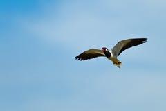 Red-wattled Lapwing bird Royalty Free Stock Image