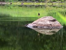 Red wattled lapwing. A common freshwater bird stock photography