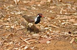 Red Wattled Lapwing with eggs Stock Image